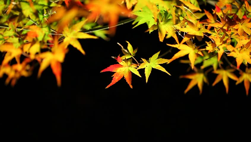 Colored leaves of Japanese maple at night in autumn, Kyoto, Japan