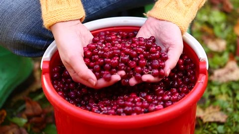 A woman sorting cranberries in a bucket