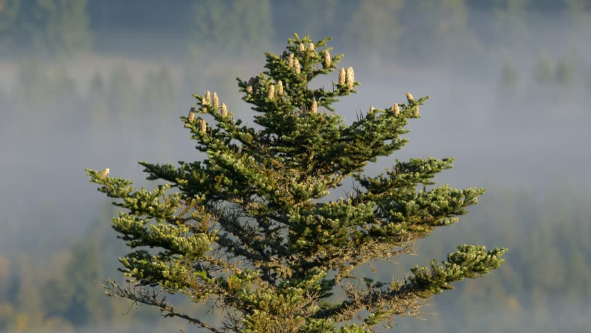 European Silver Fir Abies Alba Stock Footage Video 100 Royalty