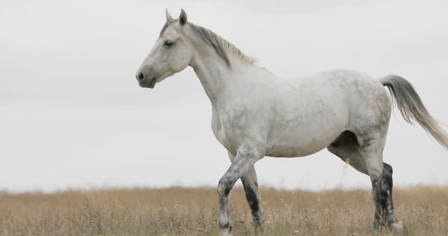 Wild white horse on the field running trotting #31472827