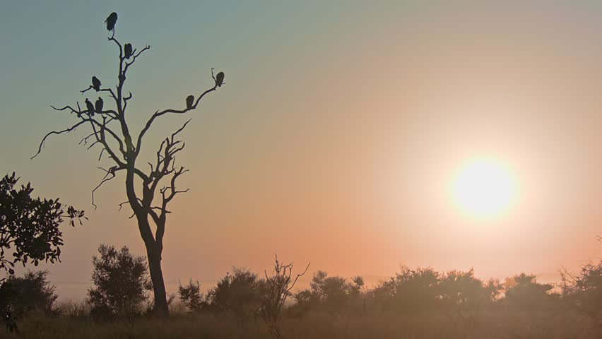 Vultures Enjoying the African Sunset – 2 The African sun is setting in the background, in the foreground there's a setting of an old tree full of vultures seen in silhouette.