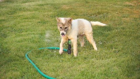 Dogs play spring water. She plays very fun and happy