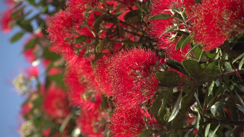 Close up of a Pohutukawa flower