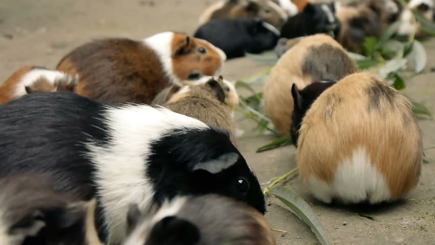 Guinea pigs eating eucalyptus leafs.  Close Up