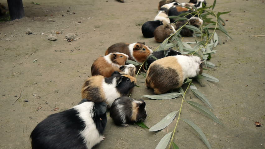 Guinea pigs eating eucalyptus leafs.  Wide Shot