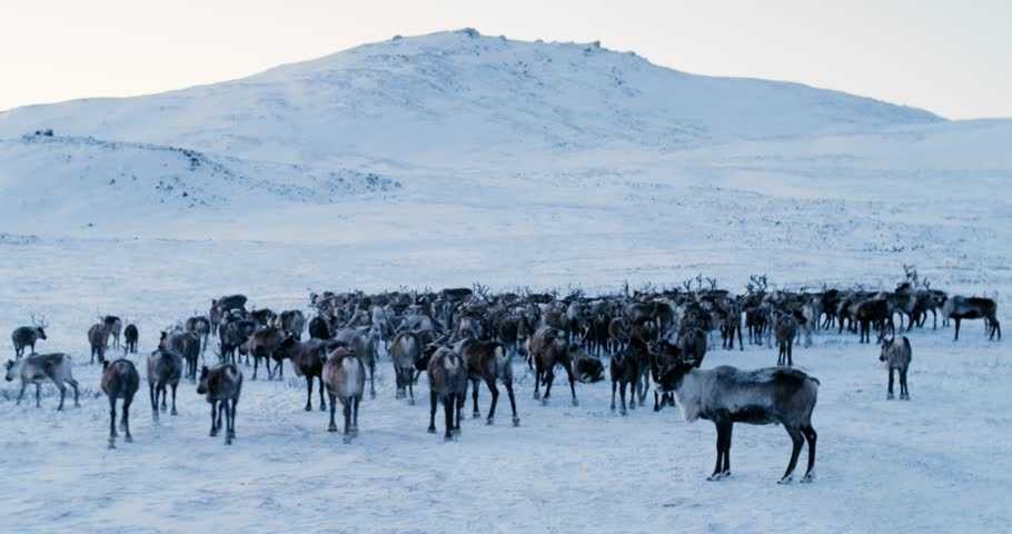 View of the Arctic Mountains. Aerial view of herd of reindeer, which ran on snow in tundra. 4k. Slow Motion