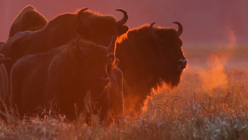 European bison. Herd in red light of sunset.