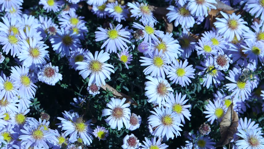 The bees flying over flowers of the alpine aster