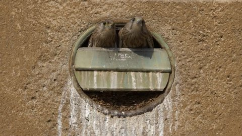 Common kestrel (Falco tinnunculus) nesting in the city