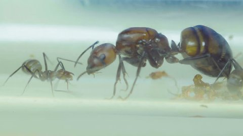 Ants close-up. A worker ant feeds the uterus. campontus nikobarensis