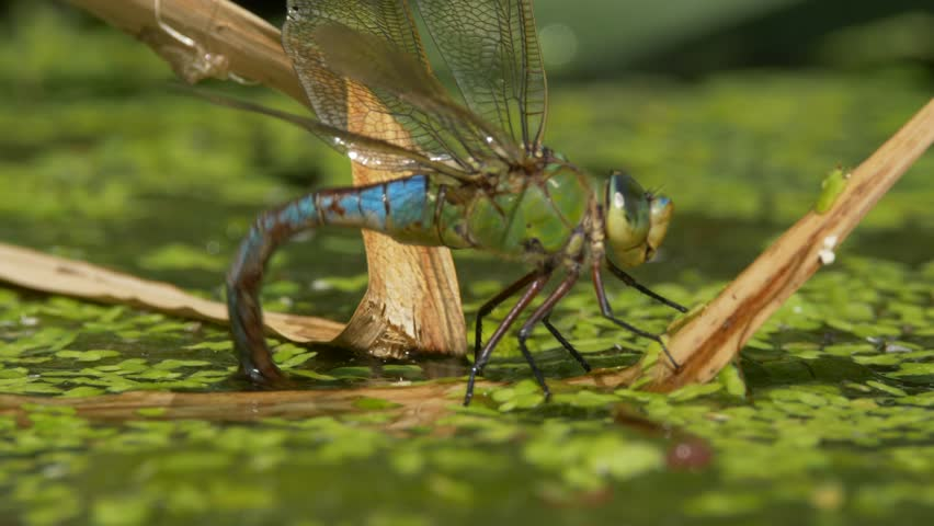 Emperor dragonfly (Anax imperator) laying eggs