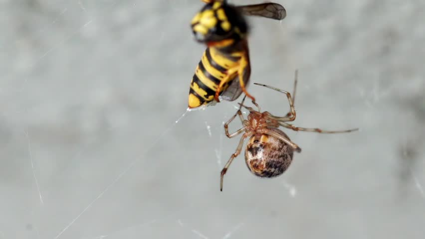 wasp in spiderweb macro
