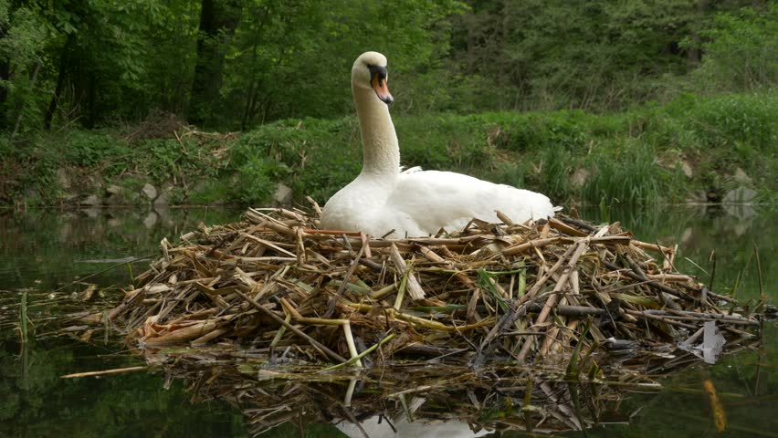 Mute swan (Cygnus olor) in nest - ungraded footage | Shutterstock HD Video #31673077