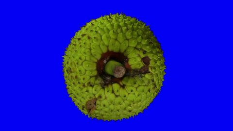 Realistic render of a rotating breadfruit on blue background. The video is seamlessly looping, and the object is 3D scanned from a real fruit.
