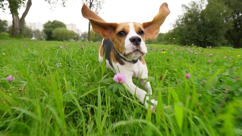 Amusing young beagle dog with long flying ears run through grass and glowers towards camera, slow motion shot. Hilarious playful puppy chase and look straight, happily spend time outing at park