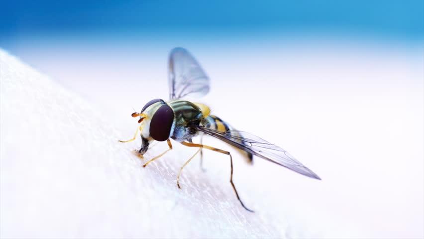 Header of Diptera