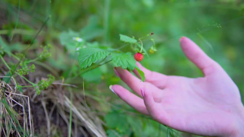 Picking wild strawberries, a female hand rips wild strawberries. Fruit of wild strawberry #31755160