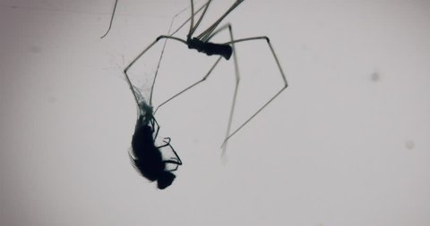 Creepy shot of a fly being eaten by a large common spider with back lit window