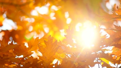 Autumn Leaves swinging on a tree in autumnal Park. Fall. Autumn colorful park. Sun flare.  Slow Motion Ultra high definition 3840X2160 4K UHD video footage