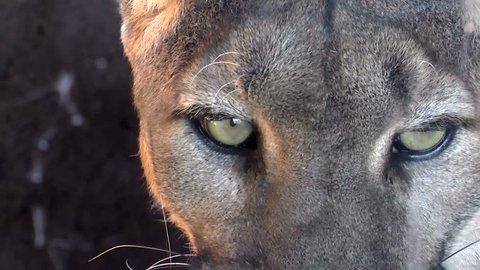 Mountain lion face, eyes, close up. 1080p