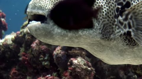Giant pufferfish boxfish macro video closeup underwater seabed in Maldives. Unique video footage. Abyssal relax diving. Natural aquarium of sea and ocean. Beautiful animals.
