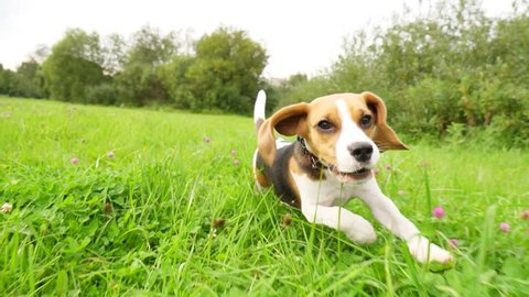 Funny young beagle run after moving camera, slow motion shot. Long flapping ears fly in air, small dog hardly rush across mixed tall grass field