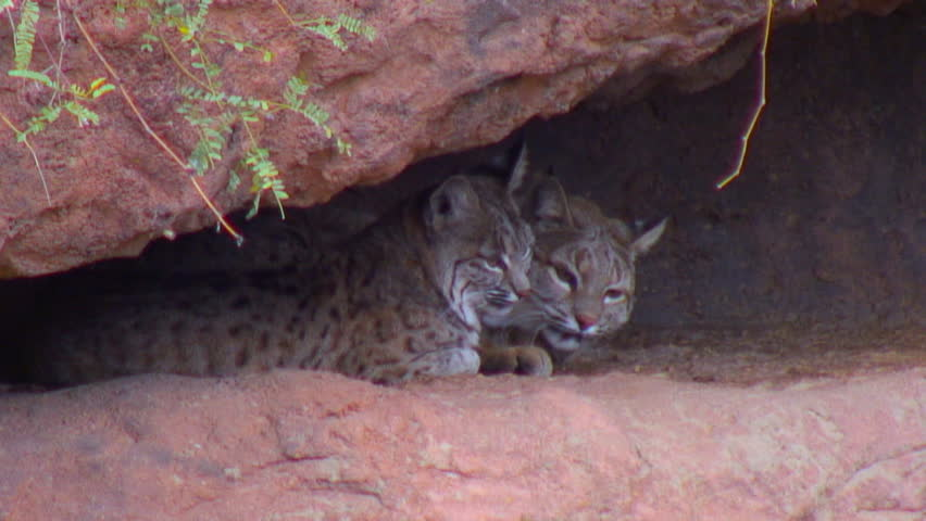 Pair of bobcats - Awake and perky