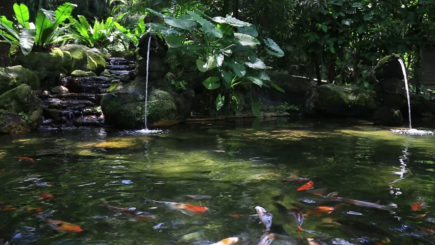 Koi fish in a pond in high definition hd stock footage for Koi fish to pond ratio
