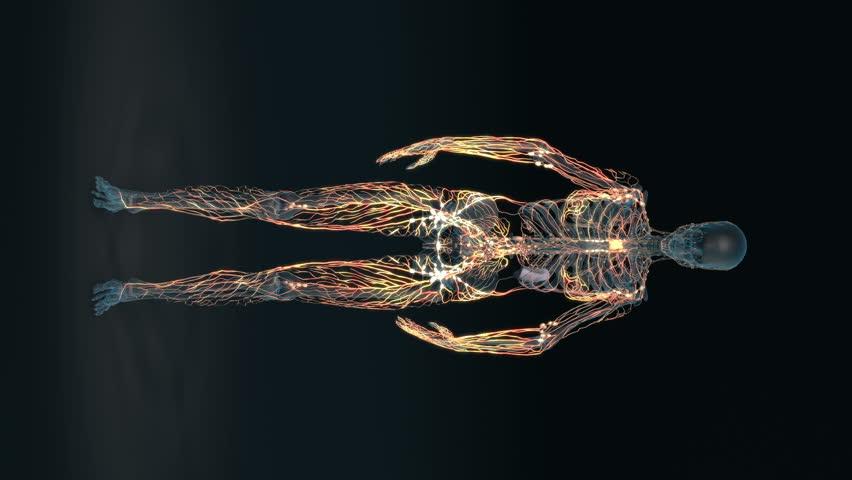 Human body - female lymphatic system - body. Loop