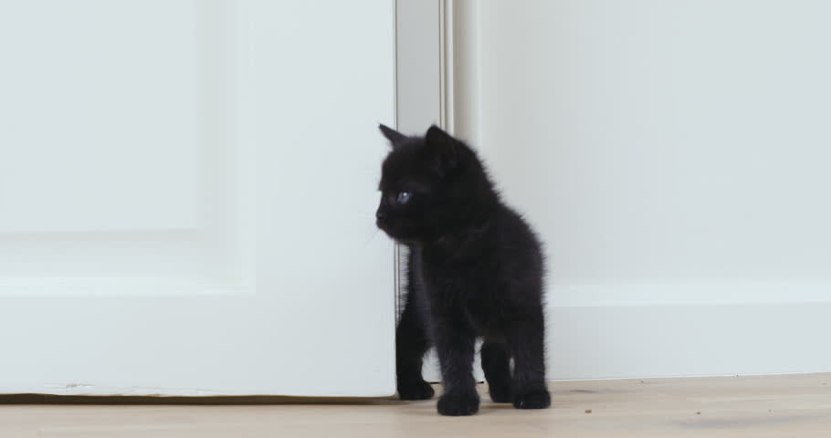 Black kitten entering a room exploring  #32040817