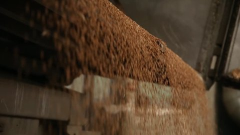 Wheat is unloaded from a truck at a flour mill. Wheat is strewing. Unloading of wheat grain. Wheat grain close-up. Transportation of grain in a truck to a mill. Granary in the milling plant.