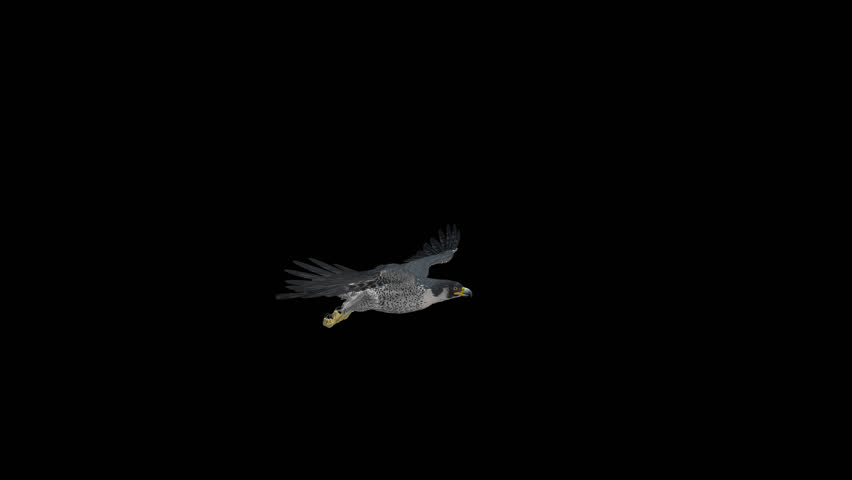Peregrine Falcon - II - Gliding and Flapping Loop - Side View Closeup - 4K UHD resizable realistic cinematic 3D animation of flying bird of prey with alpha channel isolated on transparent background.