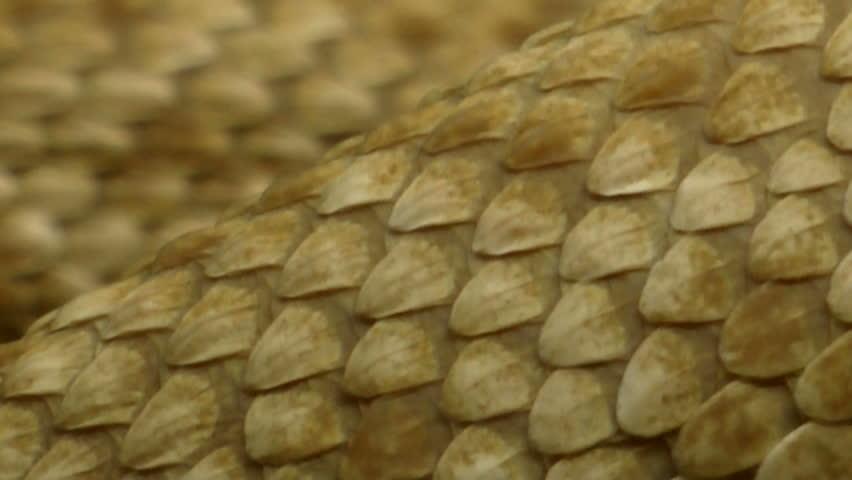 Extreme close up, scales, skin of western diamondback rattlesnake slithering. 1080p