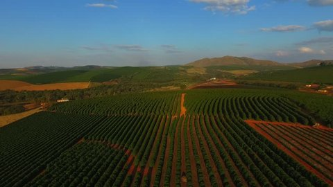 Beautiful coffee plantation in Minas Gerais Brazil, coffee trees planted in a field in the interior of Minas Gerais state.