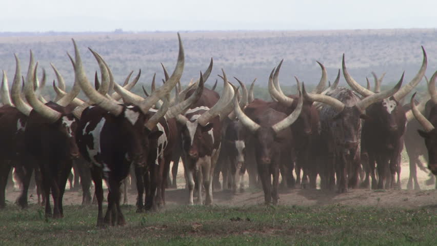 The Ankole cows of Uganda with very big white horns. #32170717