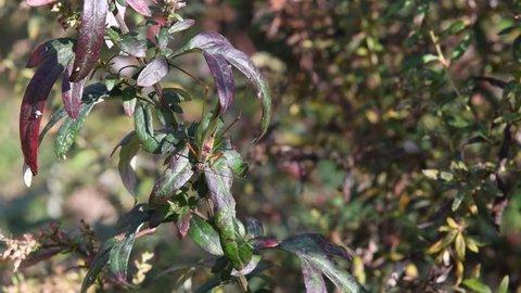 A katydid(Phaneroptera nigroantennata Brunner von Wattenwyl) gnaws the mugwort leaf(Artemisia princeps Pamp)