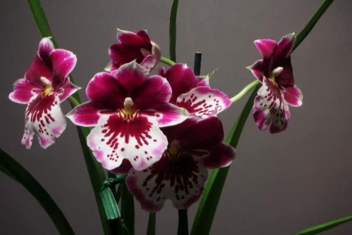 Time Lapse: Miltoniopsis orchids open - SD stock video clip