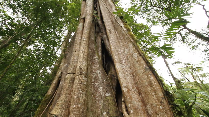 In a cloud forest, large tree is strangler fig, Bosque de Paz, central Costa Rica