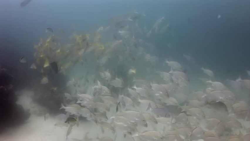 School of fish underwater in Galapagos. Unique unusual video footage. Unique beautiful video. Abyssal relax diving in world of wildlife. Natural aquarium of sea and ocean. Multicolor animals.