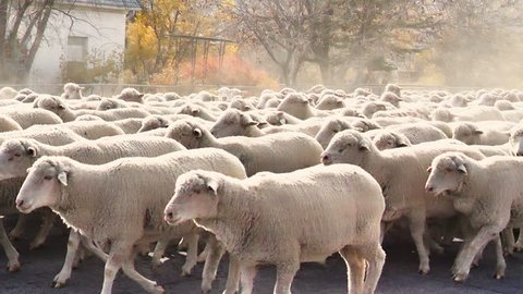 Herd of sheep being trailed through a small rural town residential area.  Every fall flocks of sheep are herded through town transitioning from their summer range to their winter range