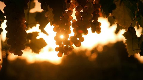Ripe Vineyard Grapes. Grapes Vineyard Sunset. Tuscany, Italy. Italian Wineyard: Ripe Grapes On The Vine Making White Wine.  Wine Grapes Harvest In Italy. Italian Countryside Beautiful Farms Vineyards.