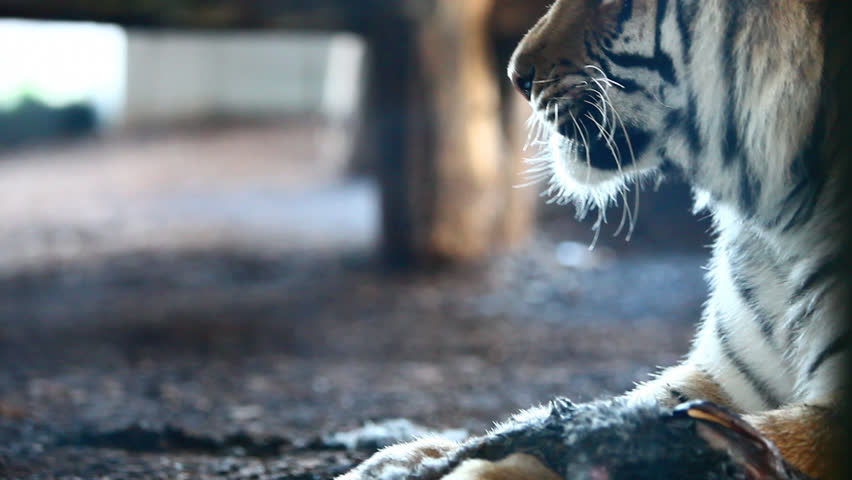 Visible breath of Siberian Tiger