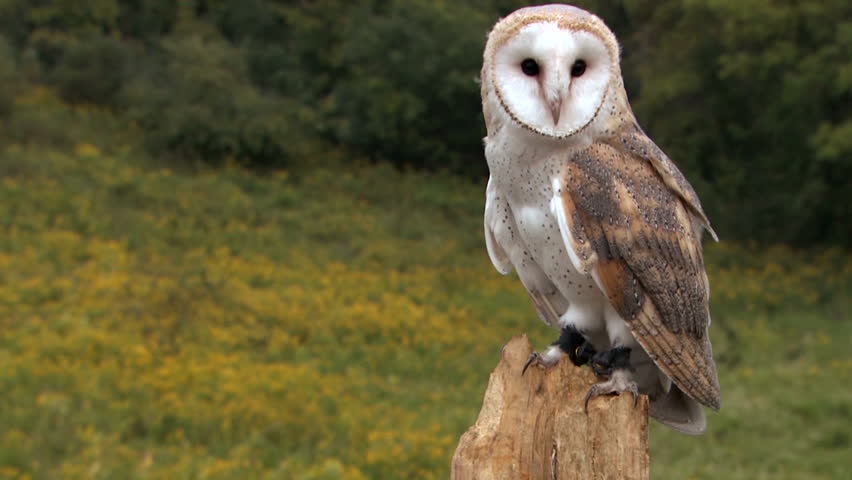 Barn owl in forest
