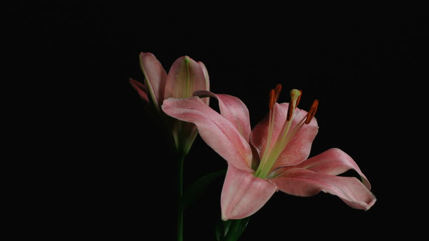 Medium motion time lapse shot turning around lily flower bulbs opening and blooming against a black background.