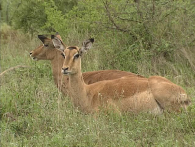 Impala  (Aepyceros melampus) ewes ruminating. This is the most common antelope of the bushfield regions of South-east Africa.