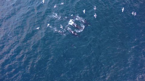 Aerial view of a pod of Orcas change direction in northern Norway waters