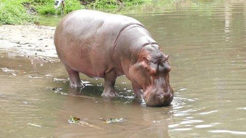 Hippopotamus looking for food
