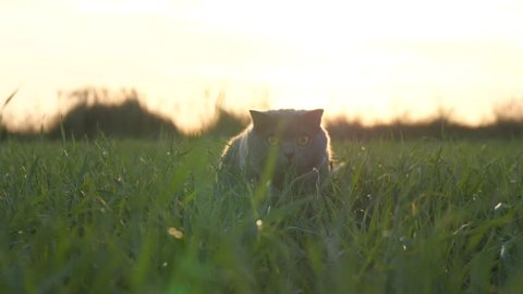 A cat of British breed walks in a park on green grass in the sun at sunset