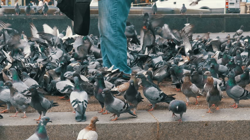 Crowd of pigeons at the feet of a man on the sidewalk. Woman is feeding pigeons on the street. Flock of pigeons eating bread outdoors in the city street. Pigeons in the park.