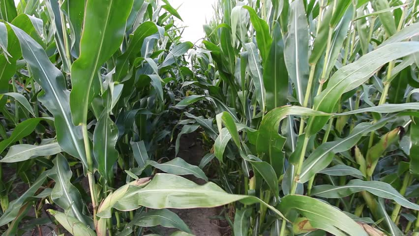 Steady walk along path between rows of fresh green maize, corn or mealie plants growing in an agricultural field | Shutterstock HD Video #3287117